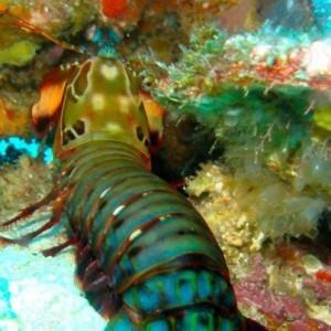 mantis shrimp in Lembongan