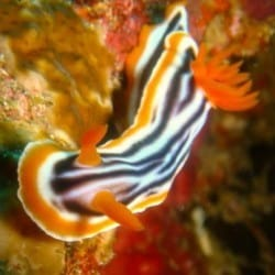 chromodoris nudibranch 5FEB13