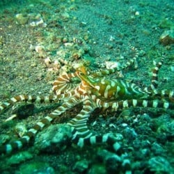 wunderpus in Lembeh 30MAR13