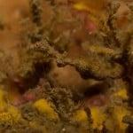 Lembeh sea dragon