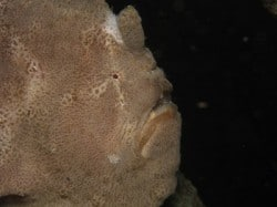 Giant frogfish Lembeh