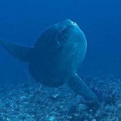 Mola mola at Buyuk