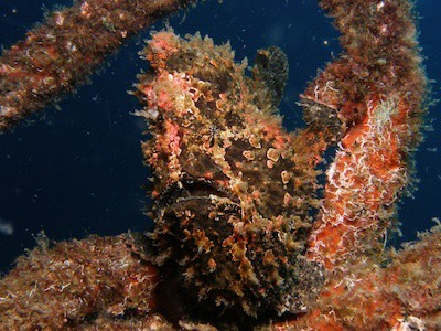 brown-warty-frogfish in Lembeh