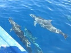 dolphins in Bunaken 24DeC13