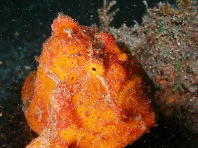 orange frogfish in Lembeh