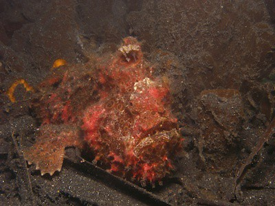 red-painted-frogfish in Lembeh