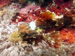 scorpionfish lembongan 27dec13