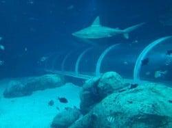 shark tunnel singapore aquarium