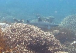 white tip shark lembongan 19DEC13
