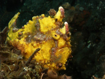 yellow-clown-frogfish in Lembeh