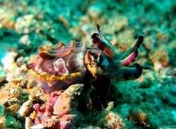 Flambouyant cuttlefish Lembeh Straits