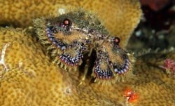 Slipper Lobster Bunaken