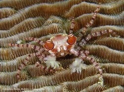 boxer crab bunaken 31DEC13
