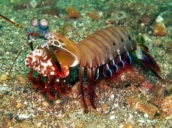 mantis shrimp 8JAN14