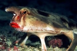 red lip batfish_small