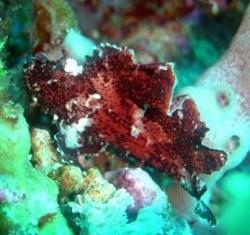 scorpionfish lembongan 15jan14