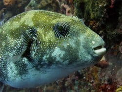 pufferfish in bunaken