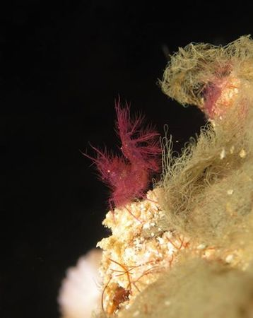 hairy shrimp bunaken