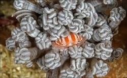 porcelain crab lembongan