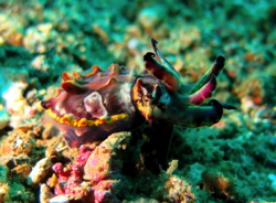 FLAMBOYANT CUTTLEFISH IN LEMBEH