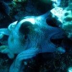 large octopus in lembongan
