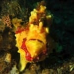 clown frogfish in lembeh