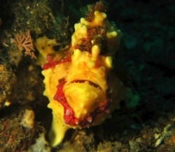 Clown FROGFISH CRAZY IN LEMBEH