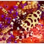 BEAUTIFUL COLEMANS SHRIMP IN LEMBEH