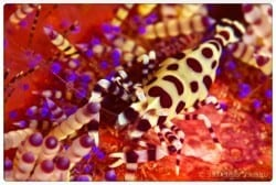 BEAUTIFUL COLEMAN'S SHRIMP IN LEMBEH