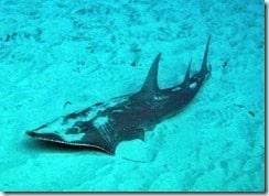 Guitar Shark, Black Tip Reef Shark, Bamboo Shark