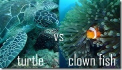 turtle vs clown fish in lembongan
