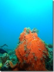 More Frogfish Then Lembeh