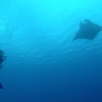 Manta with divers when diving in Bunaken
