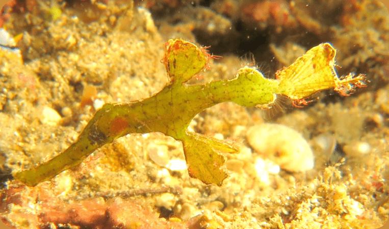 Halimeda Ghost Halimeda Ghost Pipefish