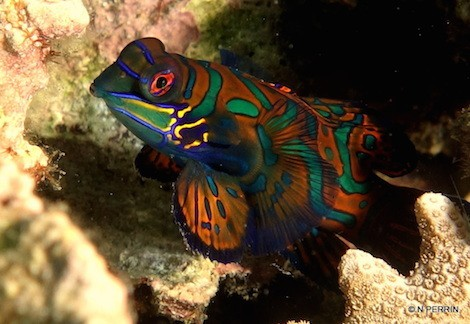 Mandarin Fish Madness