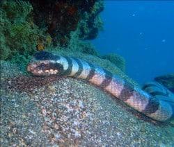 sea serpent in lembongan