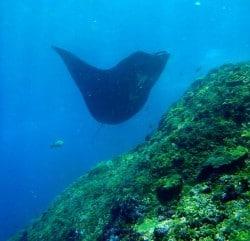 Ninja Manta Rays Dance On Lembongan Reefs
