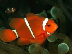 nemo fish facts