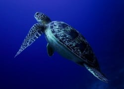 Green turtle in Bunaken