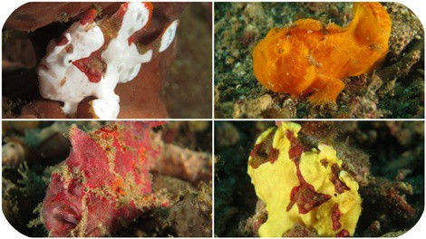 we love our frogfish