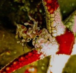 Hiding harlequin shrimp
