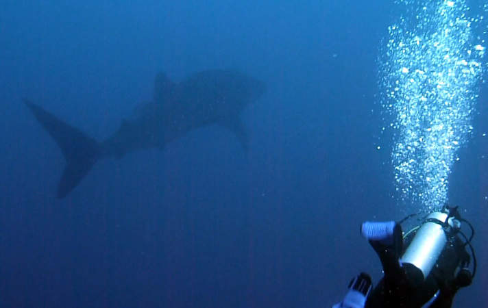 Another Whale Shark In Lembongan