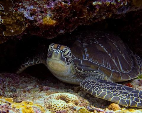 Belly rubbing sea turtle