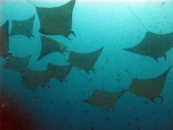 An array of Rays in Belongas Lombok