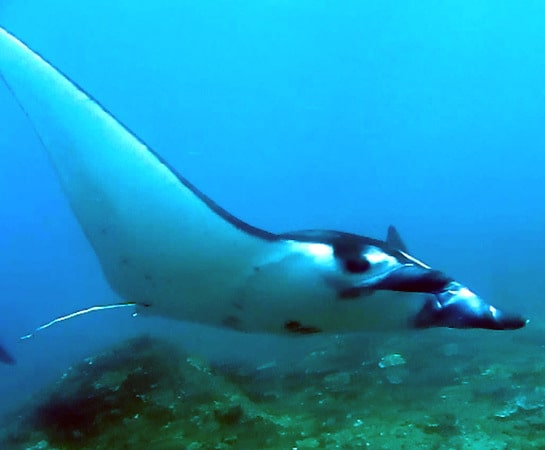 Crazy Manta Encounters In Lembongan