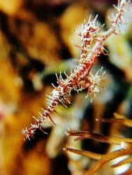 Ornate Ghostpipefish - Solenostomus paradoxus