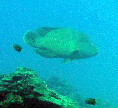 Friendly Napoleon Spot, Diving In Nusa Lembongan