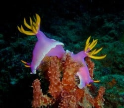 bunaken nudibranch