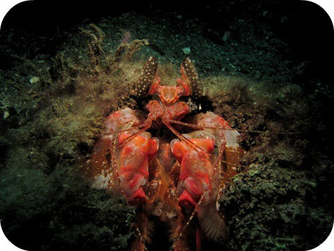 Mantis Shrimp in Lembeh