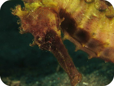 Sea Horse in Lembeh Strait, Monado
